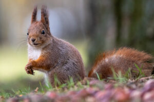 req squirrel