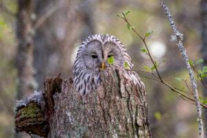 ural owl nest